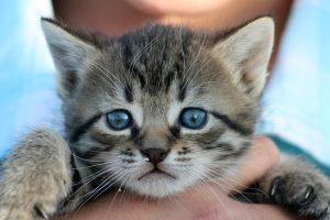 抱かれる青い目の子猫