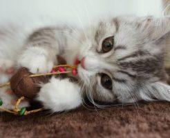 おもちゃを咥える子猫