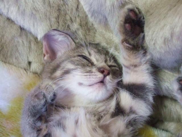 仰向けの猫