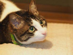 上目づかいする猫