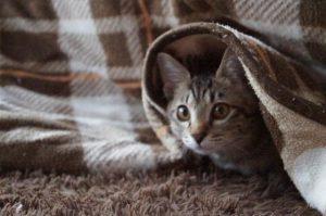 ブランケットに巻かれた猫