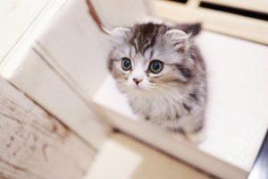 子猫のスコテッシュ