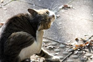 頭をかく猫