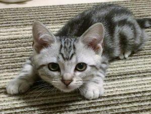 アメショーの子猫