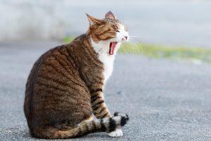 あくびをする猫ー1