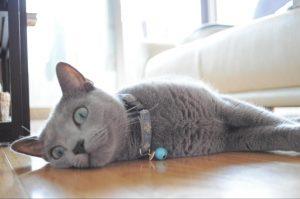 床で寝るロシアンブルー