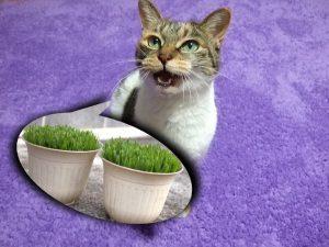 猫草を欲しがる猫