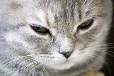 怒っている猫のアップ