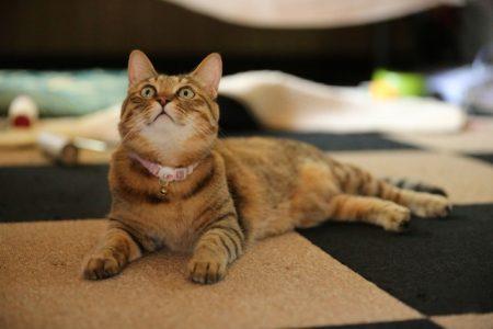 見上げる鈴を付けた猫