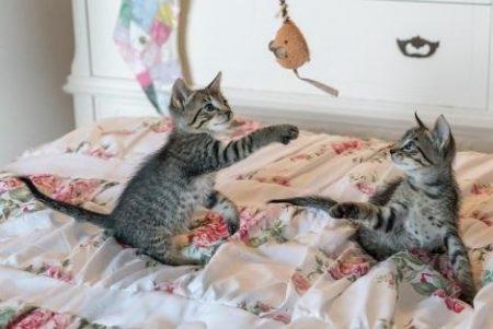 おもちゃで遊ぶ子猫達