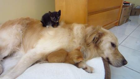 kitten-bigdog-1