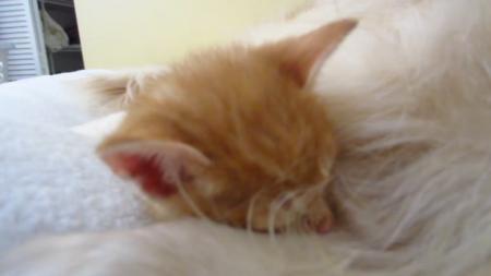 kitten-bigdog-3