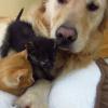 【癒し】お昼寝中のレトリバーと2匹の子猫にかわいいハプニング?!