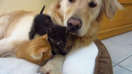 kitten-bigdog-7