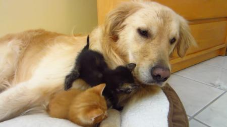 kitten-bigdog-8