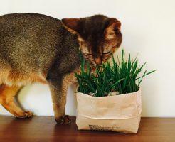 無印猫草18
